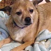 Adopt A Pet :: Pugsly - Nanuet, NY