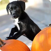Adopt A Pet :: Maya - Austin, TX