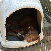 Adopt A Pet :: Jack - Lawrenceville, GA