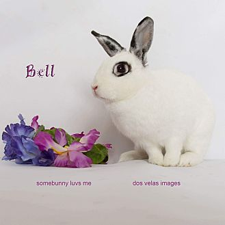 Dwarf Hotot Mix for adoption in Jurupa Valley, California - Bell