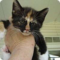 Adopt A Pet :: Abigail - Grayslake, IL