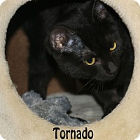 Adopt A Pet :: Tornado - Idaho Falls, ID