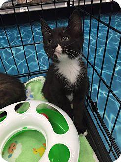 Domestic Mediumhair Kitten for adoption in Mansfield, Texas - Mason