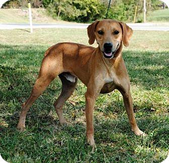 Vizsla Mix Dog for adoption in Parsons, Kansas - Drake