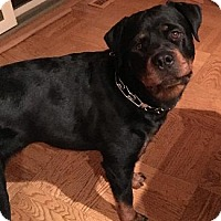 Rottweiler Dog for adoption in Pt. Richmond, California - CANDY