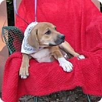 Adopt A Pet :: Joey - Springfield, VA