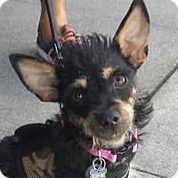 Adopt A Pet :: Shana - Encino, CA