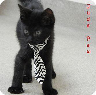 Domestic Shorthair Kitten for adoption in Bucyrus, Ohio - Jude Paw