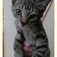 Adopt A Pet :: Indigo Montoya - Trevose, PA