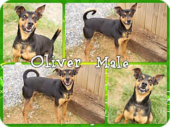 Basenji/Terrier (Unknown Type, Medium) Mix Dog for adoption in Washington, D.C. - Oliver (reduced fee)