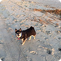 Chihuahua/Pomeranian Mix Dog for adoption in Shallotte, North Carolina - Opie