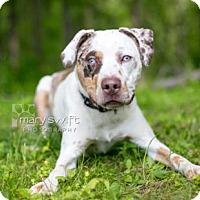 Adopt A Pet :: Bane - Reisterstown, MD