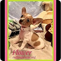 Adopt A Pet :: FLOWER - Milton, GA