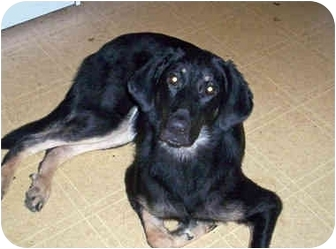 Gordon Setter Rescue Ohio Obi | Adopted Dog | Ci...