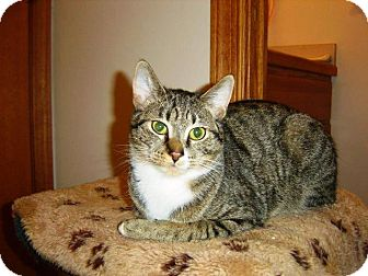 Domestic Shorthair Cat for adoption in Cleveland, Ohio - Dylan