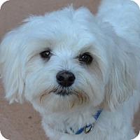 Adopt A Pet :: Bogey - La Costa, CA