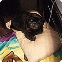 Adopt A Pet :: Bobby McGee - Huntingdon Valley, PA
