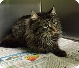 Greenville Nc Maine Coon Meet Rico A Cat For Adoption