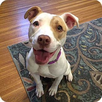 Pit Bull Terrier Mix Dog for adoption in Rochester, New York - Lilla