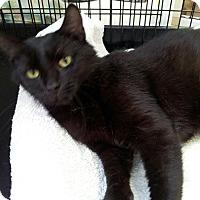 Adopt A Pet :: Bagheera - Colmar, PA