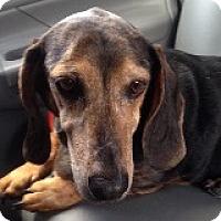 Adopt A Pet :: Lorna Lilac - Houston, TX