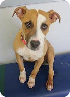 Boxer Mix Dog for adoption in Yukon, Oklahoma - Izzie