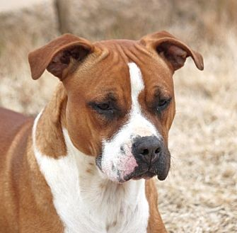 Terrier (Unknown Type, Medium)/Pit Bull Terrier Mix Dog for adoption in Mahwah, New Jersey - Dory (New Video)