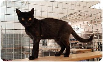 Domestic Shorthair Cat for adoption in Welland, Ontario - Raven