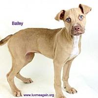 Adopt A Pet :: Bailey - Bloomington, MN