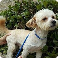 Adopt A Pet :: Cuddles - Costa Mesa, CA