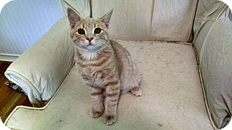 Domestic Shorthair Cat for adoption in Davison, Michigan - Peanut
