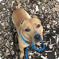 American Staffordshire Terrier Mix Dog for adoption in Oak Park, Illinois - Reggie