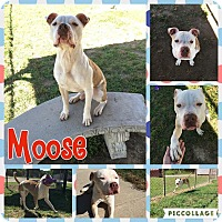 Adopt A Pet :: Moose - Colonial Heights animal shelter, VA