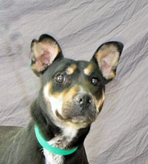 Australian Kelpie Mix Dog for adoption in Modesto, California - Penny