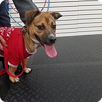 Adopt A Pet :: Scooby - Plainfield, IL