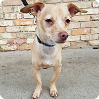 Chihuahua Mix Dog for adoption in Allen, Texas - Beans