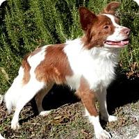 Adopt A Pet :: Sampson Brown - Tyler, TX