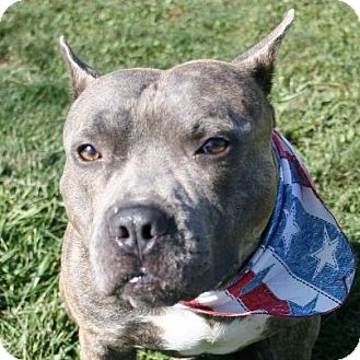 American Pit Bull Terrier/Australian Cattle Dog Mix Dog for adoption in Medina, Ohio - Boss