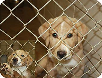 mix puppy for adoption in haughton louisiana   bcac lab collie mix