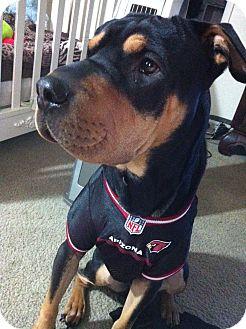 Shar Pei/Rottweiler Mix Dog for adoption in Scottsdale, Arizona - Nestle