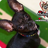 Adopt A Pet :: PerDoodle (Paul) - Huntington Beach, CA