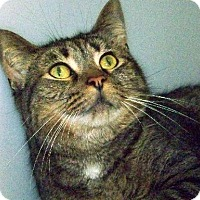 Domestic Shorthair Cat for adoption in Westville, Indiana - Christopher