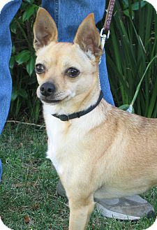 Chihuahua Mix Dog for adoption in Tracy, California - Lina