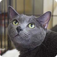 Adopt A Pet :: Meatball - Merrifield, VA
