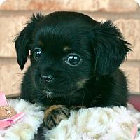 Adopt A Pet :: Sahara-Adoption pending - Bridgeton, MO