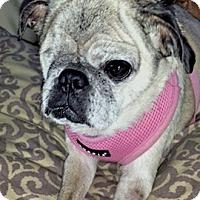 Adopt A Pet :: Sophia - Austin, TX