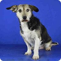Adopt A Pet :: OLIVE - Norman, OK