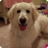 Adopt A Pet :: Sugar - Garland, TX