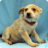 Adopt A Pet :: Whisper - Westminster, CO