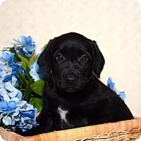 Adopt A Pet :: Lq litter - Fred - Livonia, MI